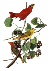 summer red bird 2
